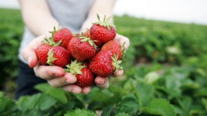 Pick strawberries