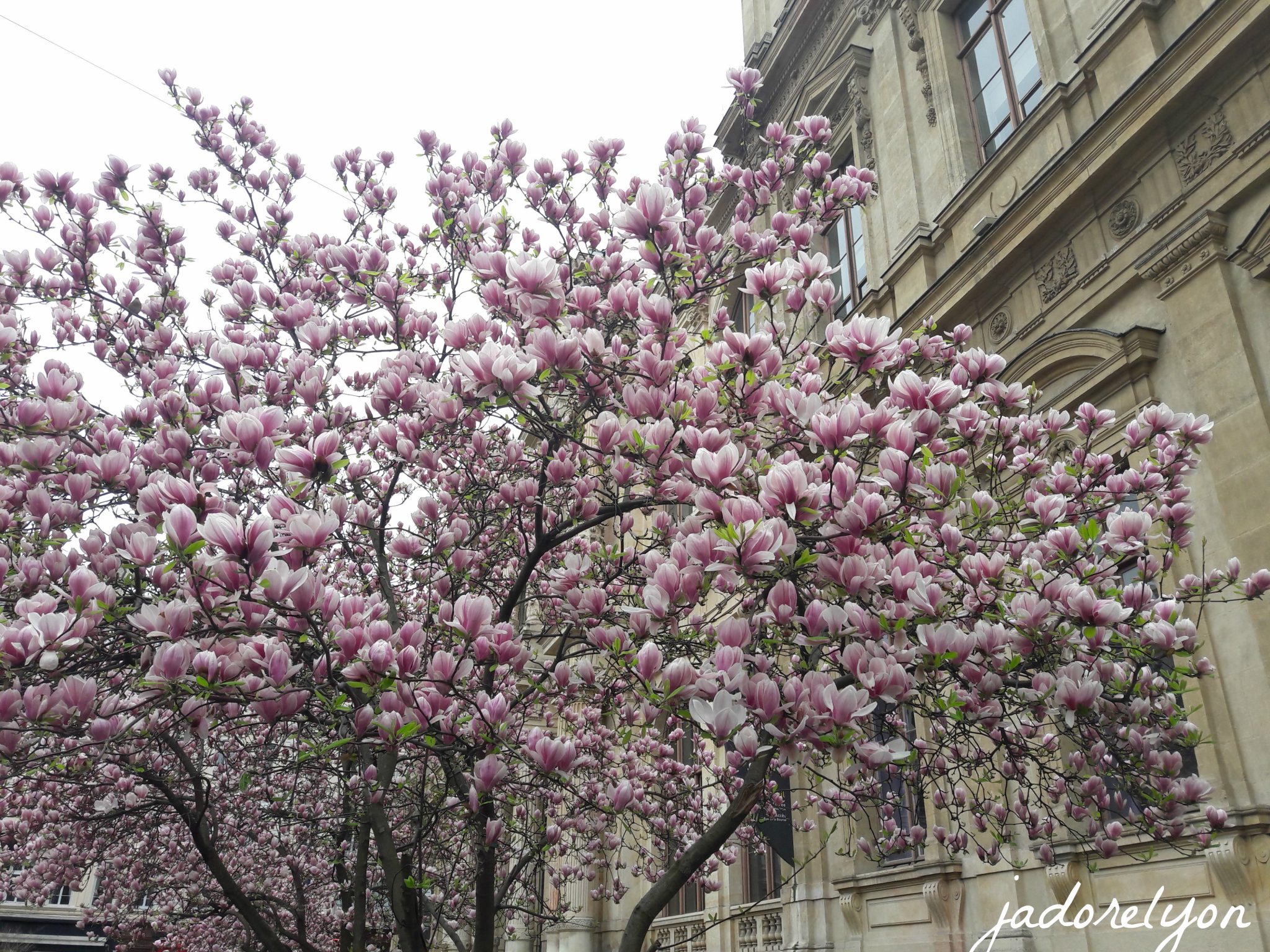 Magnolias everywhere in Lyon