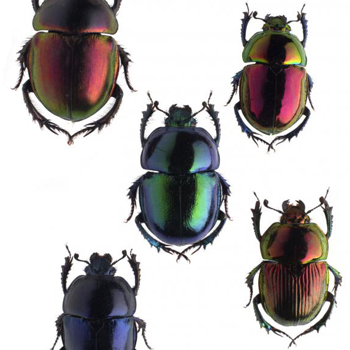 Beetles, extraordinary insects